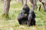 mountain gorilla, gorilla, africa