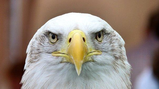 Eagle, Bird, Animal, White Tailed Eagle