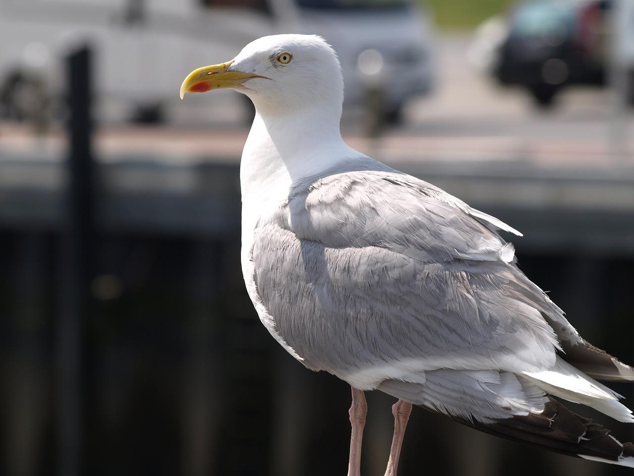 обладает защитным чайки фото север или под