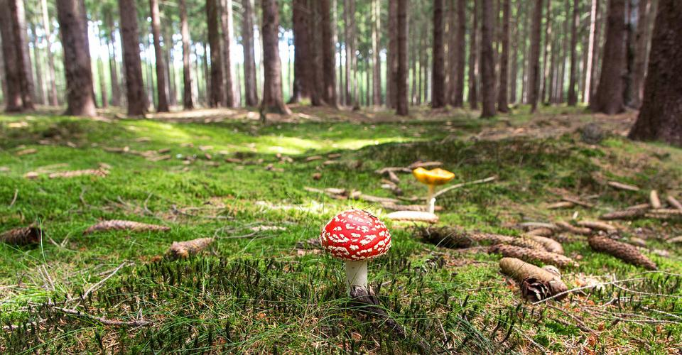 Types of Psychedelic Mushrooms fly agaric