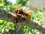 hornet, insects, nature
