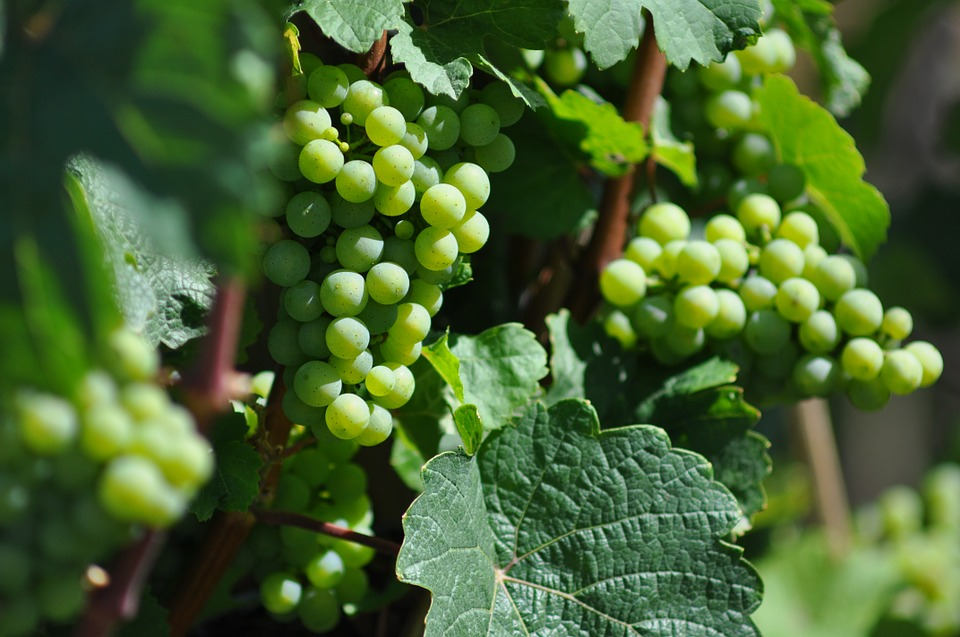 free photo  wine  grapevine  grapes  leaves - free image on pixabay
