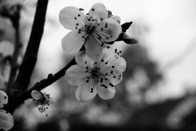 Cereza Blanco Y Negro Flores · Foto Gratis En Pixabay