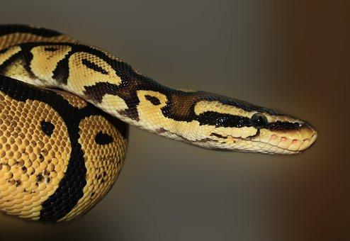 Snake, Python, Ball Python