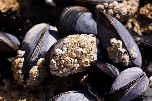Mussels, Barnacles, Mytilus, Watt Area