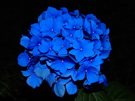 Hydrangea, Blossom, Bloom, Flower