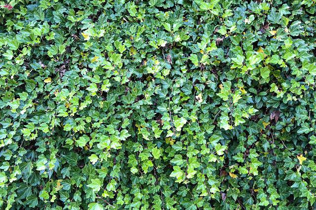 Ivy hedge overgrown free photo on pixabay for Piante rampicanti
