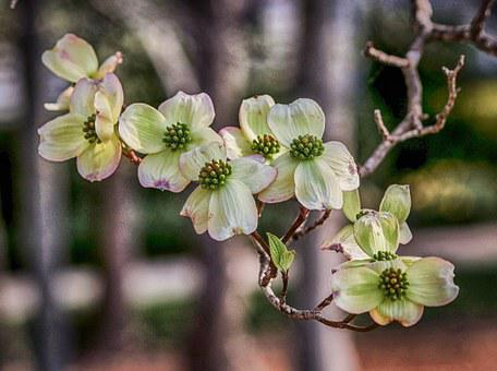 200+ Free Dogwood & Bloom Images - Pixabay