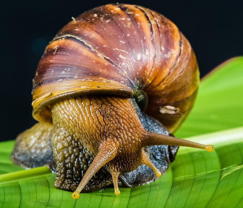 free photo snail slimy land snail reptiles free