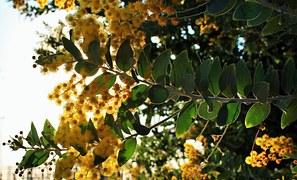 Foto gratis acacia fioritura fiori alberi immagine for Acacia albero