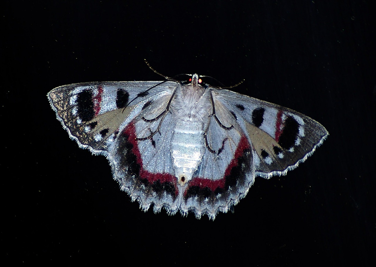 Black moth insect