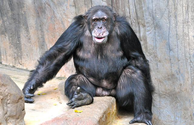 Free Photo Monkey Chimpanzee Sweet Free Image On