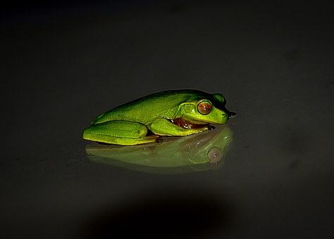 Frog, Wildlife, Green, Small, Reflection
