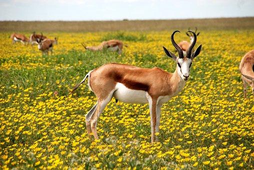 Africanos fotos de antilopes +50 ANIMAIS