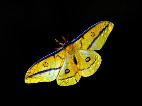 Moth, Large, Insect, Yellow, Black, Blue