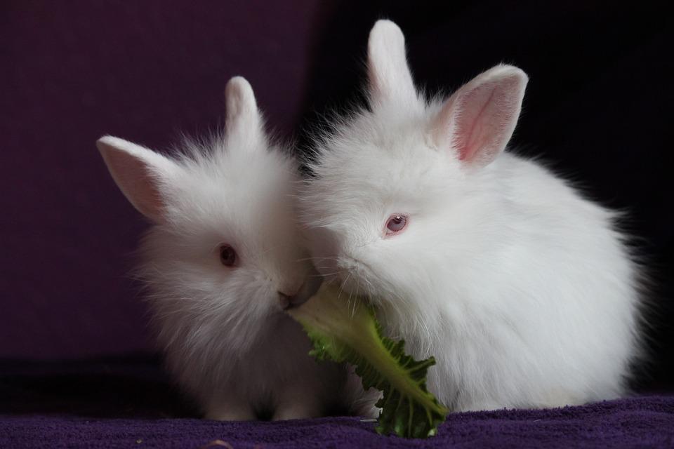 kostenloses foto kaninchen hasen klein putzig. Black Bedroom Furniture Sets. Home Design Ideas