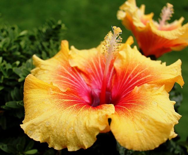 hibiscus mauve fleurs photo gratuite sur pixabay. Black Bedroom Furniture Sets. Home Design Ideas
