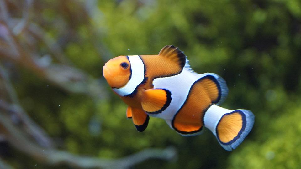 Clownfish Anemonefish Fish 183 Free Photo On Pixabay