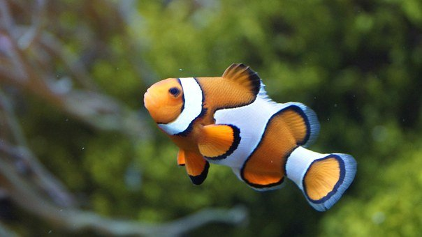 100+ Free Nemo & Clown Fish Images - Pixabay