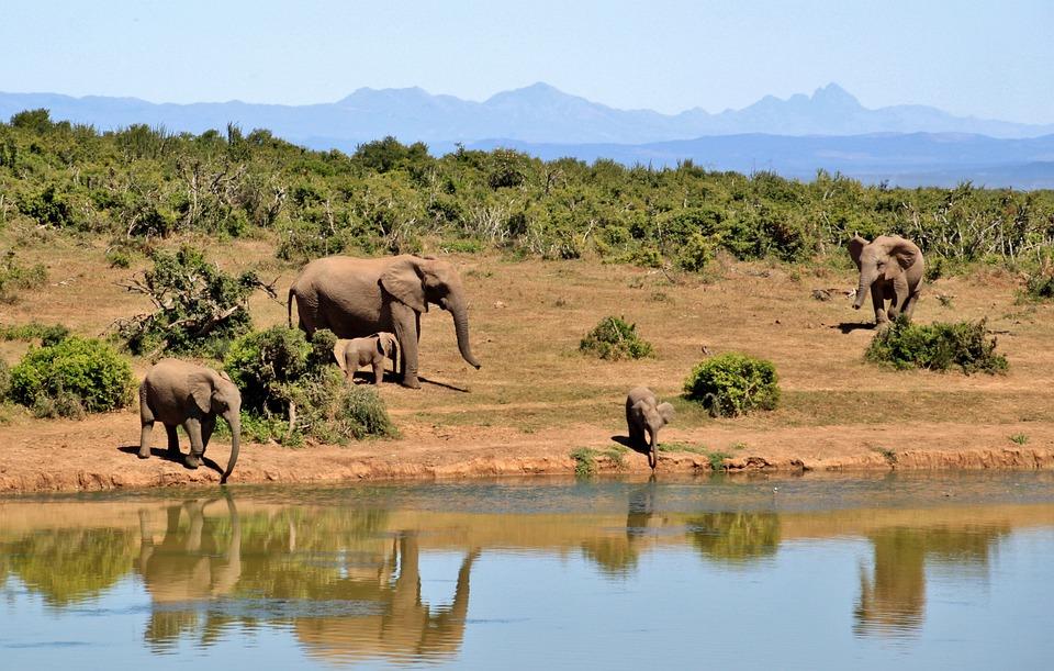 Elefant, Hjord Elefanter, Djur, African Bush Elefant
