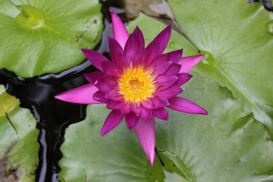 Lotus flower flowers free photo on pixabay lotus flower flowers nature mightylinksfo