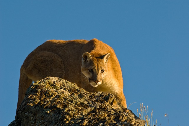 Free Photo Puma Mountain Lion Crouching Free Image On Math Wallpaper Golden Find Free HD for Desktop [pastnedes.tk]
