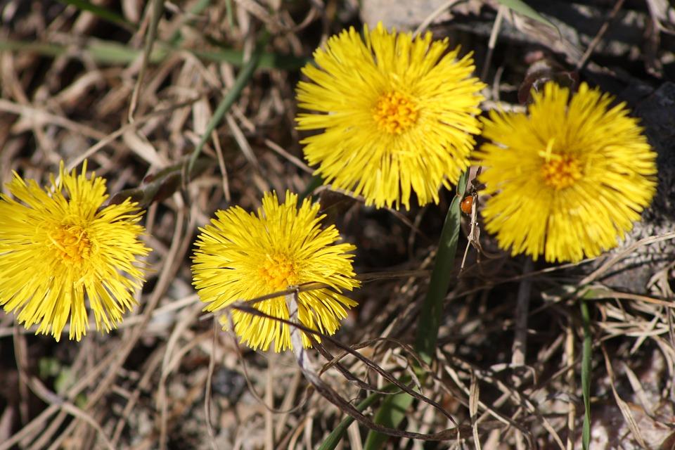 Gratis Fotografie Hestehov Blomst V 229 R V 229 Ren Anlegg