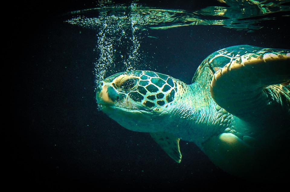 Sea Turtle Size Chart: Sea Turtle - Free images on Pixabay,Chart