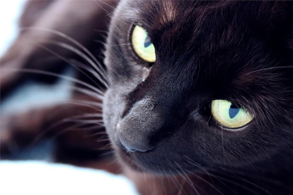 Cat, Domestic, Black, Animal, Pet, Cute, Cat Eyes, Eyes