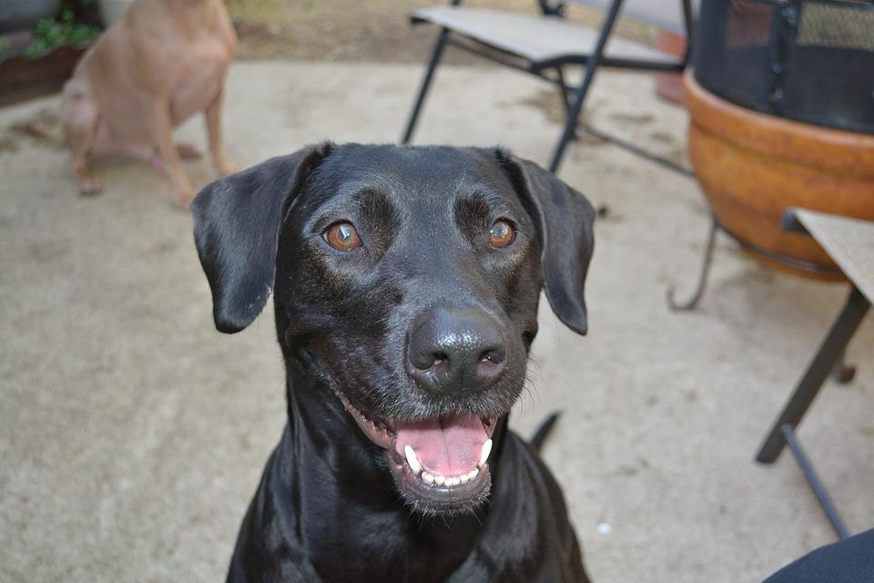 Happy, Dog, Animal, Pet, Cute, Pretty, Female