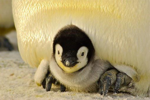 Penguin Baby Antarctic Life Animal Emperor