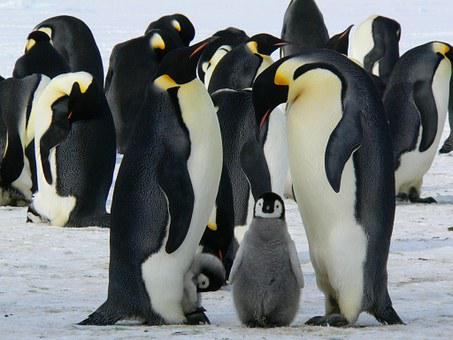 Penguins, Emperor Penguins, Baby
