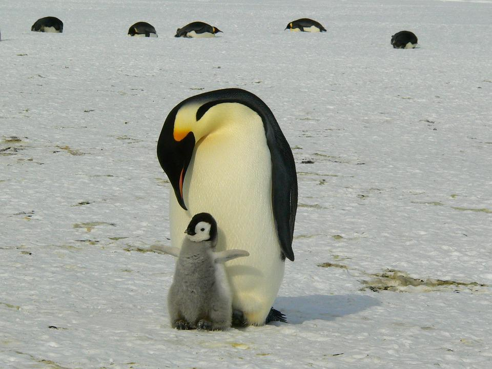 ペンギン, 皇帝ペンギン, 赤ちゃん, 母, 親, 南極, 生活, 動物, かわいい, 氷, 冷, 野生