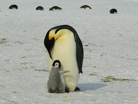 Penguins, Emperor Penguins, Baby, Mother