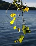 birch, foliage, twigs