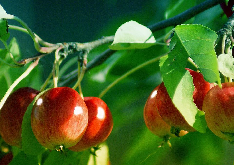 Beliebt Bevorzugt Äpfel Klein Kleine - Kostenloses Foto auf Pixabay #CU_46