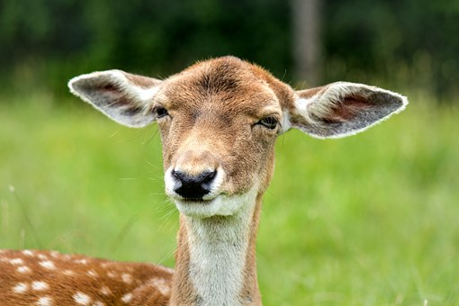 Doe, Hirsch, Female, Ears, Head, Face