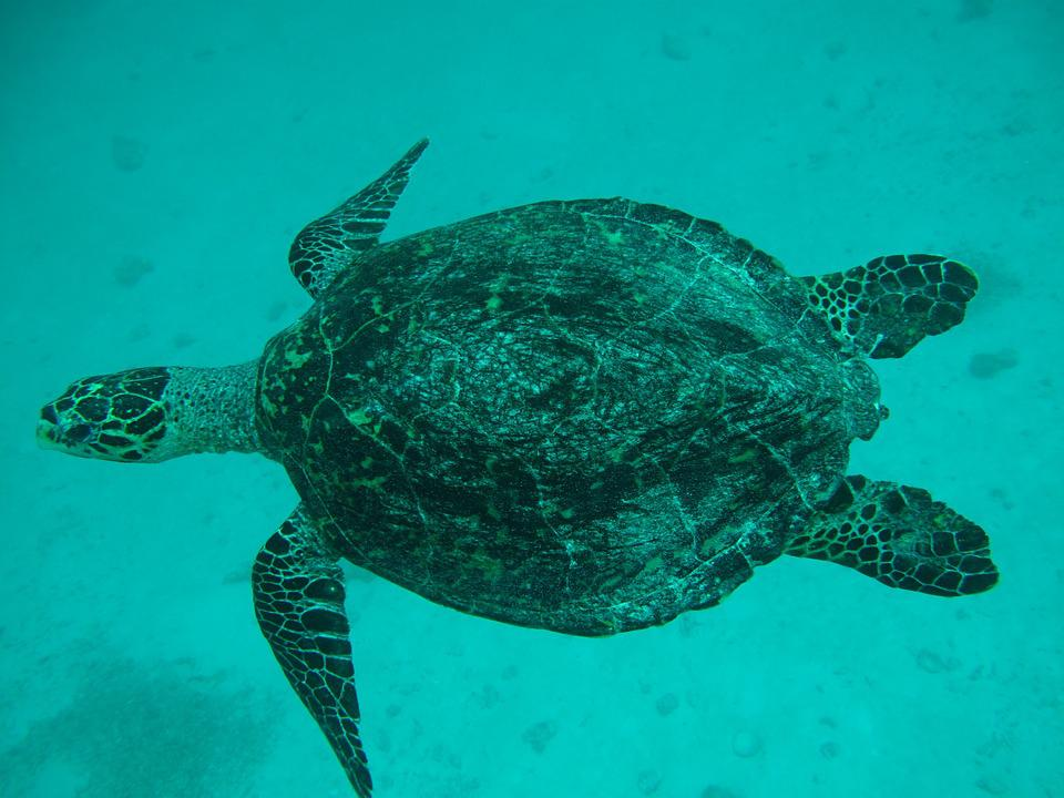 Sea ​​Turtle, Maldives, Sea, Turtle, Animals