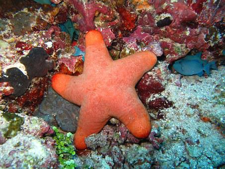 Starfish, Corals, Maldives, Sea, Coral
