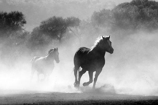 Horses, Galloping, Running, Stallions