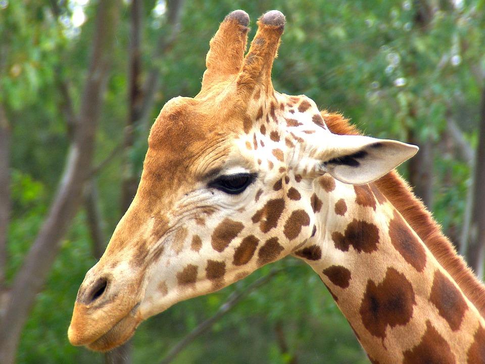 Hd wallpaper yellow rose - Free Photo Giraffe Male Animal Head Africa Free