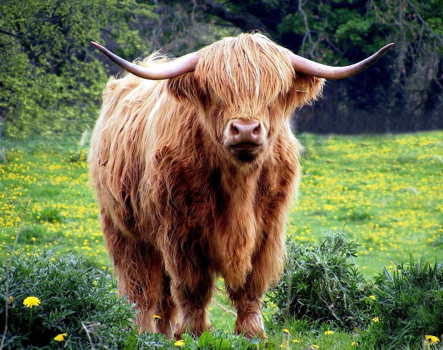 牛, 雄牛, 角, シャギー, 牧草地, フィールド, 草, 高地, スコットランド, ブラウン, 牛肉