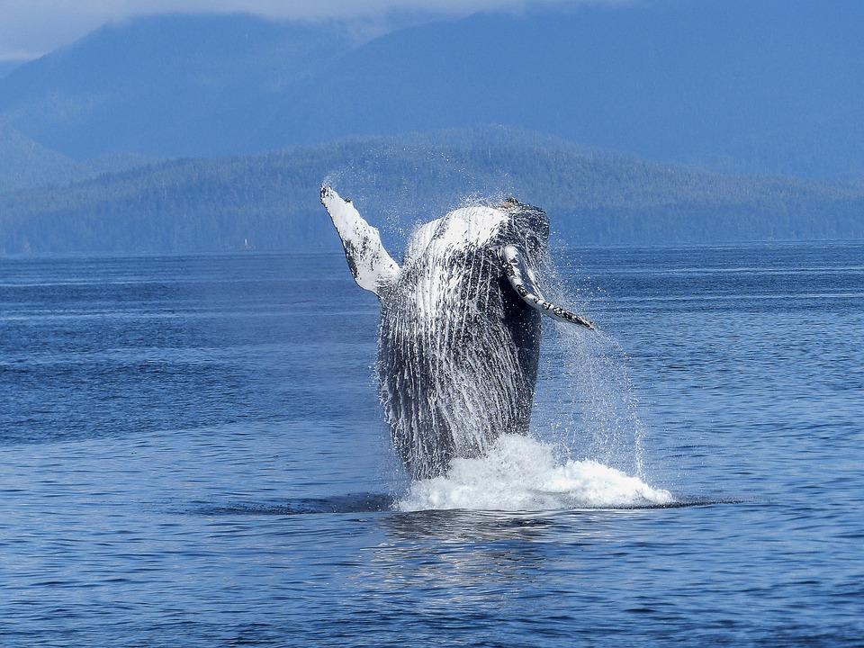 Baleine À Bosse, Spectacle De La Nature, Nature