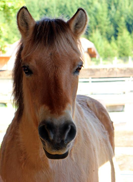 Free Photo Horse Pony Head Horse Head Free Image On