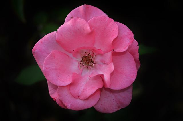 Free Photo: Rose, Pink, Flower, Plant, Nature