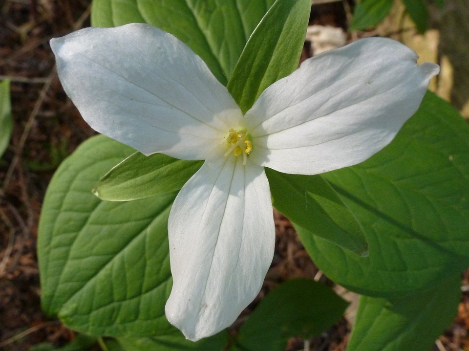 free photo trillium, flower, white, ontario  free image on, Beautiful flower