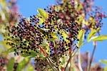 elder, black elderberry, sambucus nigra