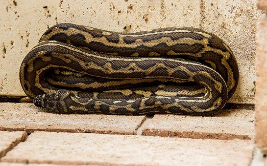 Teppich-Python, Python, Aufgewickelt