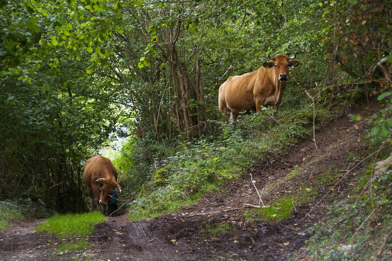 梦见牛乱跑是什么预兆 梦见黄牛发狂到处乱跑