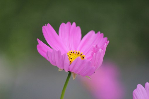 Cosmos Flower, Cosmos, Flower, Bloom